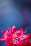 Rosa Blumen auf blauem Hintergrund Stockbild