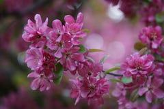Rosa Blumen auf Crabapple-Baum lizenzfreie stockfotografie