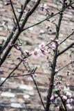 Rosa Blumen auf dem Baumast Stockfotos