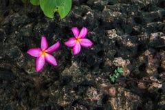 Rosa Blumen auf dem Felsen Stockbilder