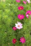 Rosa Blumen auf dem Greensward stockbilder