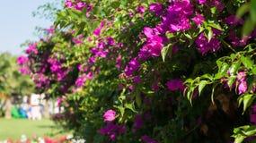 Rosa Blumen auf einem Busch im Garten Lizenzfreies Stockbild