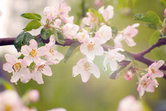 Rosa Blumen auf einer Niederlassung eines Apfelbaums im Frühjahr nach einem Regen Stockbild