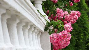Rosa Blumen auf einer weißen Balustrade stock video footage
