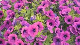 Rosa Blumen auf großen Bush stock footage