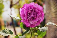 Rosa Blumen-Betriebsweide Rosa Carolina stieg, stieg niedrig Stockfotografie