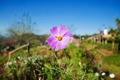 Rosa Blumen blühen in der Natur mit hellem Himmel Lizenzfreie Stockfotos