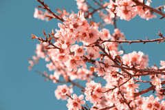 Rosa Blumen-blühender Pfirsich-Baum am Frühling Stockbild