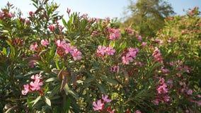 Rosa Blumen blühten auf Bush und dem Beeinflussen in den Wind stock video footage