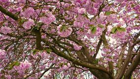 Rosa Blumen-Blüten auf Baum stock video