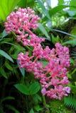 Rosa Blumen - botanische Gärten Singapurs Lizenzfreies Stockfoto