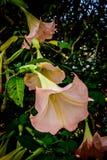 Rosa Blumen in Cameron Highlands Stockbild
