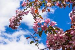 Rosa Blumen der Apfelbaum-Frühlingslandschaft Lizenzfreie Stockfotografie