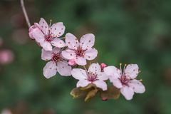 Rosa Blumen der blühenden Kirschnahaufnahme stockbilder