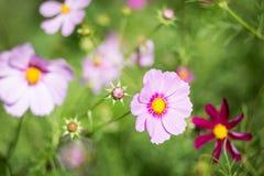 Rosa Blumen in der Blüte Stockfotografie