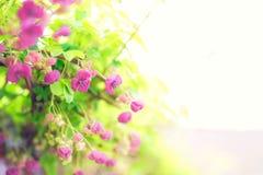 Rosa Blumen in der Blüte beleuchtet und romantisch stockfotografie