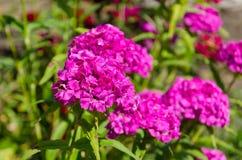 Rosa Blumen der Gartengartennelkenanlage stockfotografie