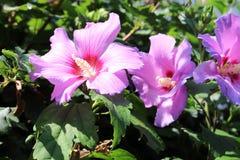 Rosa Blumen der Mandel lokalisiert auf weißem Hintergrund Stockbild