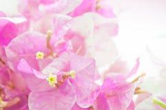 Rosa Blumen der Nahaufnahme auf Rosenquarzfarbhintergrund Stockfoto