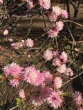 Rosa Blumen der Natur lizenzfreie stockfotos