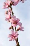 Rosa Blumen der Nektarine unter blauem Himmel Stockfotografie