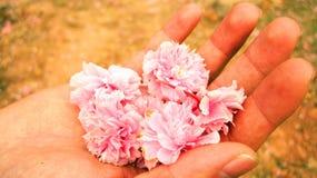 Rosa Blumen in der Palme Ihrer Hand Lizenzfreies Stockbild