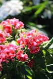 Rosa Blumen in der Sonne stockfoto