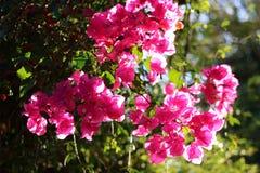 Rosa Blumen in der Sonne Stockfotos
