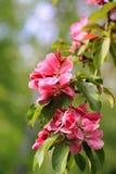 Rosa Blumen des dekorativen Zupackens Apple Lizenzfreies Stockfoto