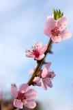 Rosa Blumen des FrühlingsObstbaumes Stockfoto