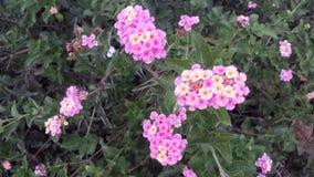 Rosa Blumen des Gelbs 2 in der Blüte stockbild