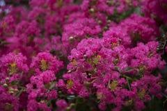 Rosa Blumen des Krepps Myrte lizenzfreies stockfoto