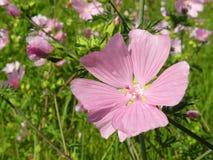 Rosa Blumen, die im Sommer blühen Lizenzfreies Stockbild