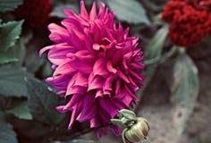 Rosa Blumen, die um ein einzigartiges Foto des Gartens bl?hen lizenzfreie stockfotografie