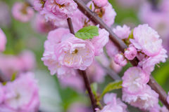 Rosa Blumen einer blühenden Pflaume oder des Prunus triloba Lizenzfreie Stockfotos