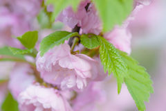 Rosa Blumen einer blühenden Pflaume oder des Prunus triloba Stockbilder