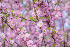 Rosa Blumen einer blühenden Pflaume oder des Prunus triloba Stockfotografie