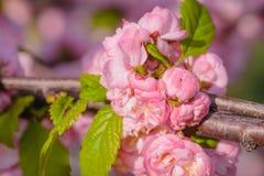 Rosa Blumen einer blühenden Pflaume oder des Prunus triloba bei Sonnenuntergang Stockbilder