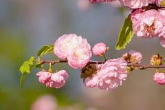 Rosa Blumen einer blühenden Pflaume oder des Prunus triloba bei Sonnenuntergang Lizenzfreie Stockfotografie