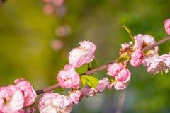 Rosa Blumen einer blühenden Pflaume oder des Prunus triloba bei Sonnenuntergang Stockbild