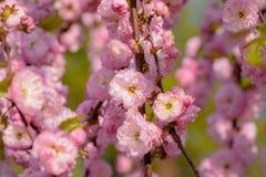 Rosa Blumen einer blühenden Pflaume oder des Prunus triloba bei Sonnenuntergang Lizenzfreie Stockfotos