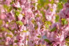 Rosa Blumen einer blühenden Pflaume oder des Prunus triloba bei Sonnenuntergang Stockfoto