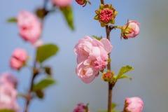 Rosa Blumen einer blühenden Pflaume oder des Prunus triloba bei Sonnenuntergang Lizenzfreie Stockbilder