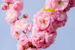 Rosa Blumen einer blühenden Pflaume oder des Prunus triloba bei Sonnenuntergang Stockfotos
