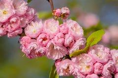 Rosa Blumen einer blühenden Pflaume oder des Prunus triloba bei Sonnenuntergang Lizenzfreies Stockbild