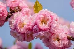 Rosa Blumen einer blühenden Pflaume oder des Prunus triloba bei Sonnenuntergang Lizenzfreies Stockfoto