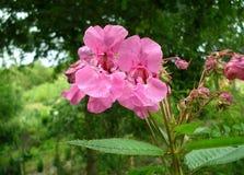 Rosa Blumen einer Himalajabalsamanlage lizenzfreies stockfoto