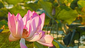 Rosa Blumen einer Lotoslilie, die an corroboree billabong wächst stock video