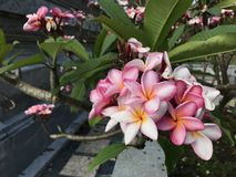 Rosa Blumen, Gartennelke Lizenzfreie Stockfotos
