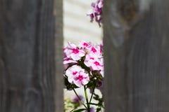 Rosa Blumen gesehen durch ein Loch im Zaun Der Hintergrund ist Lizenzfreie Stockfotos